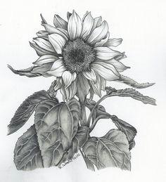 image t6 jpg 640a 703 pixels sunflower sketches sunflower drawing sunflower art