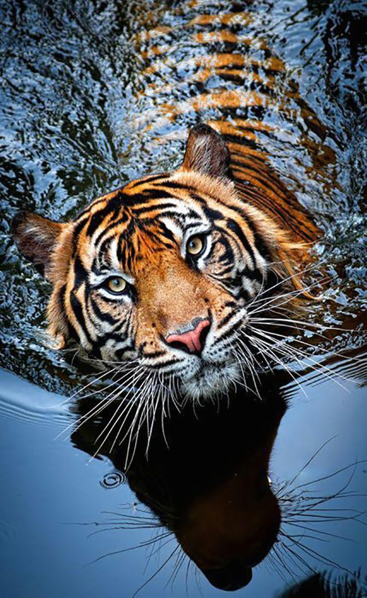 tiger panthera tigris top 10 photos of big catsfollow me yeah for many more awesometacular photos and the stories behind them