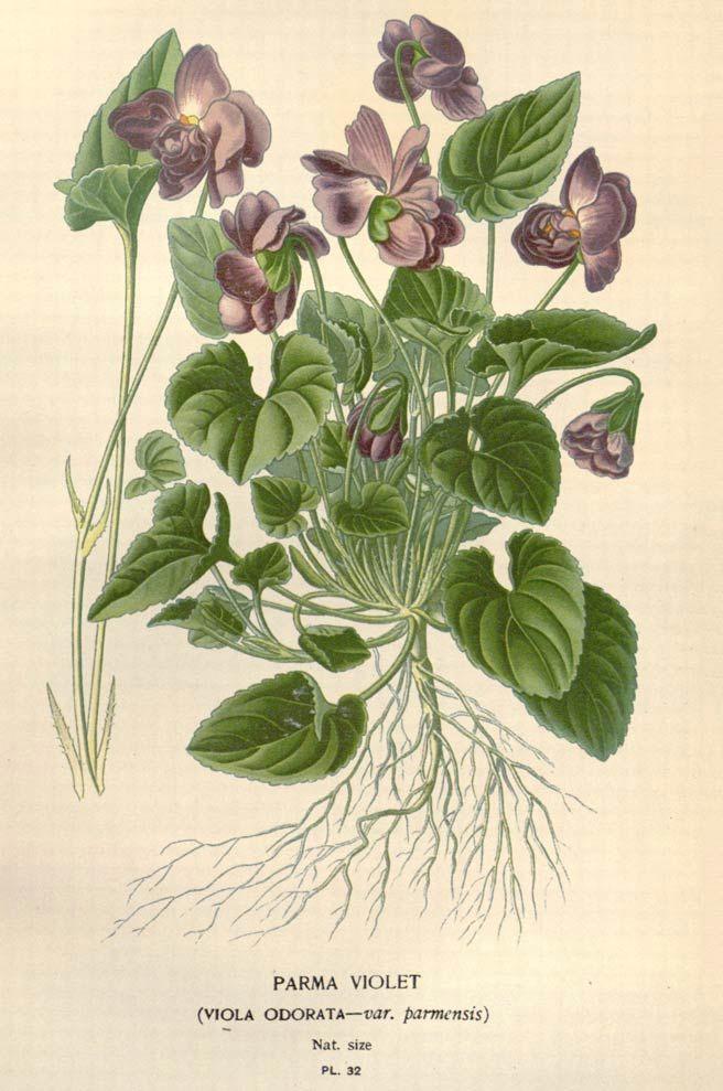 blue violet leaf in traditional medicine bulk blue violet leaf