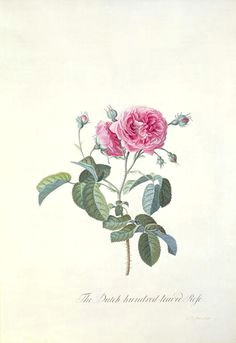 rose dutch hundred leaved rose by georg dionysius ehret antique roses rose art