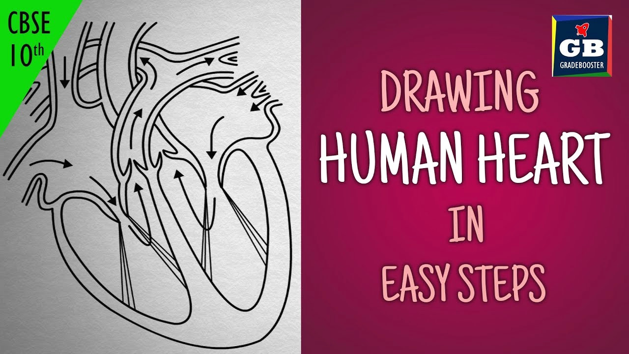 easy way to draw human heart life processes ncert class 10 biology science cbse syllabus