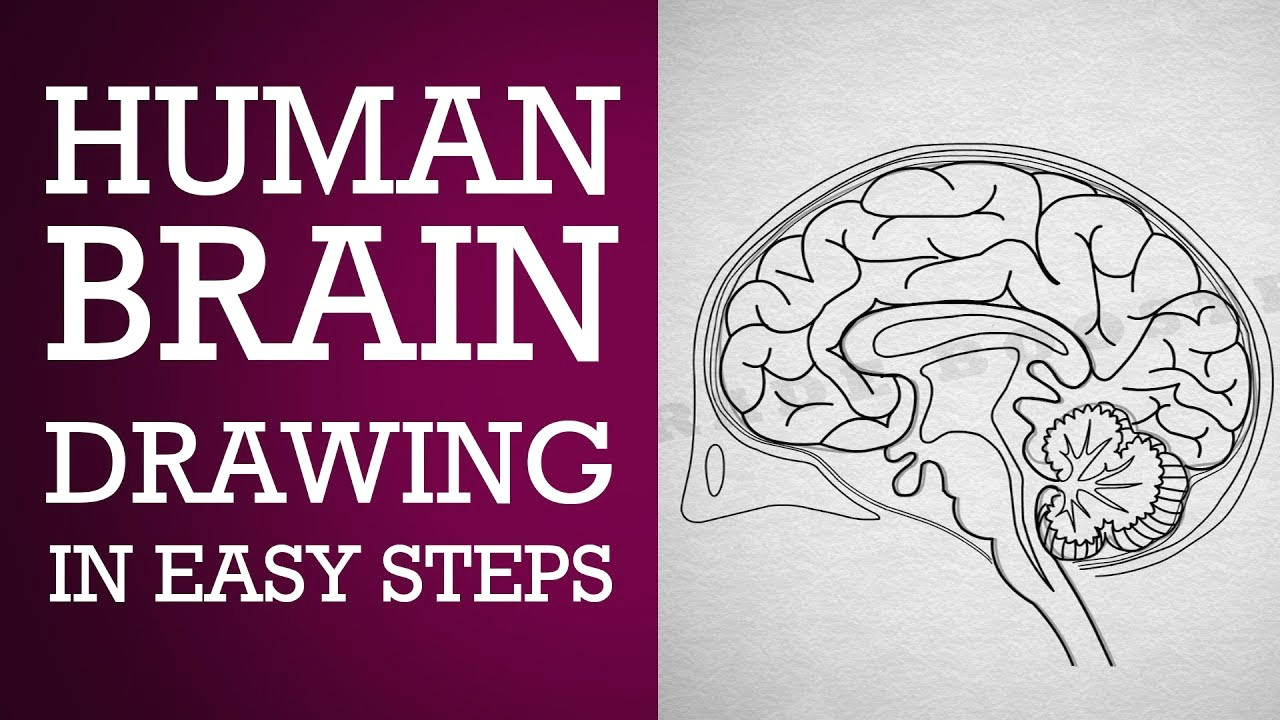 how to draw human brain in easy steps control coordination ncert class 10 cbse biology science