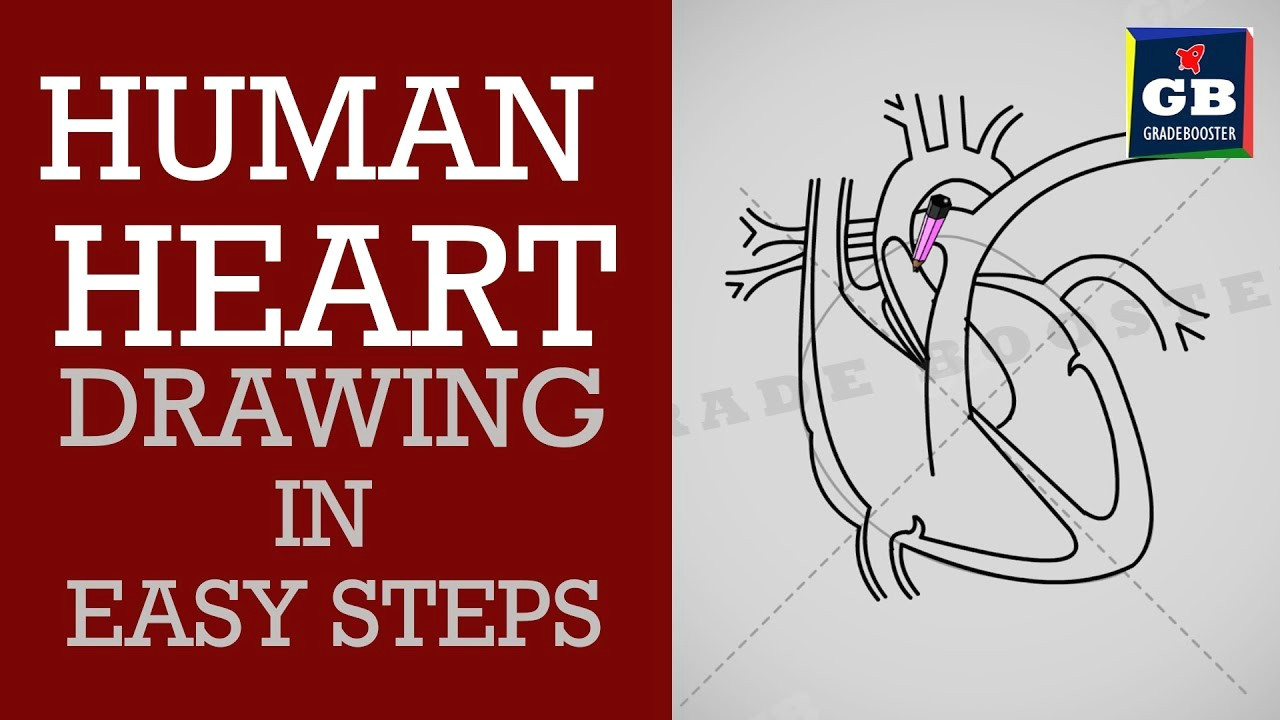 how to draw human heart in easy steps life processes ncert class 10 science biology cbse syllabus