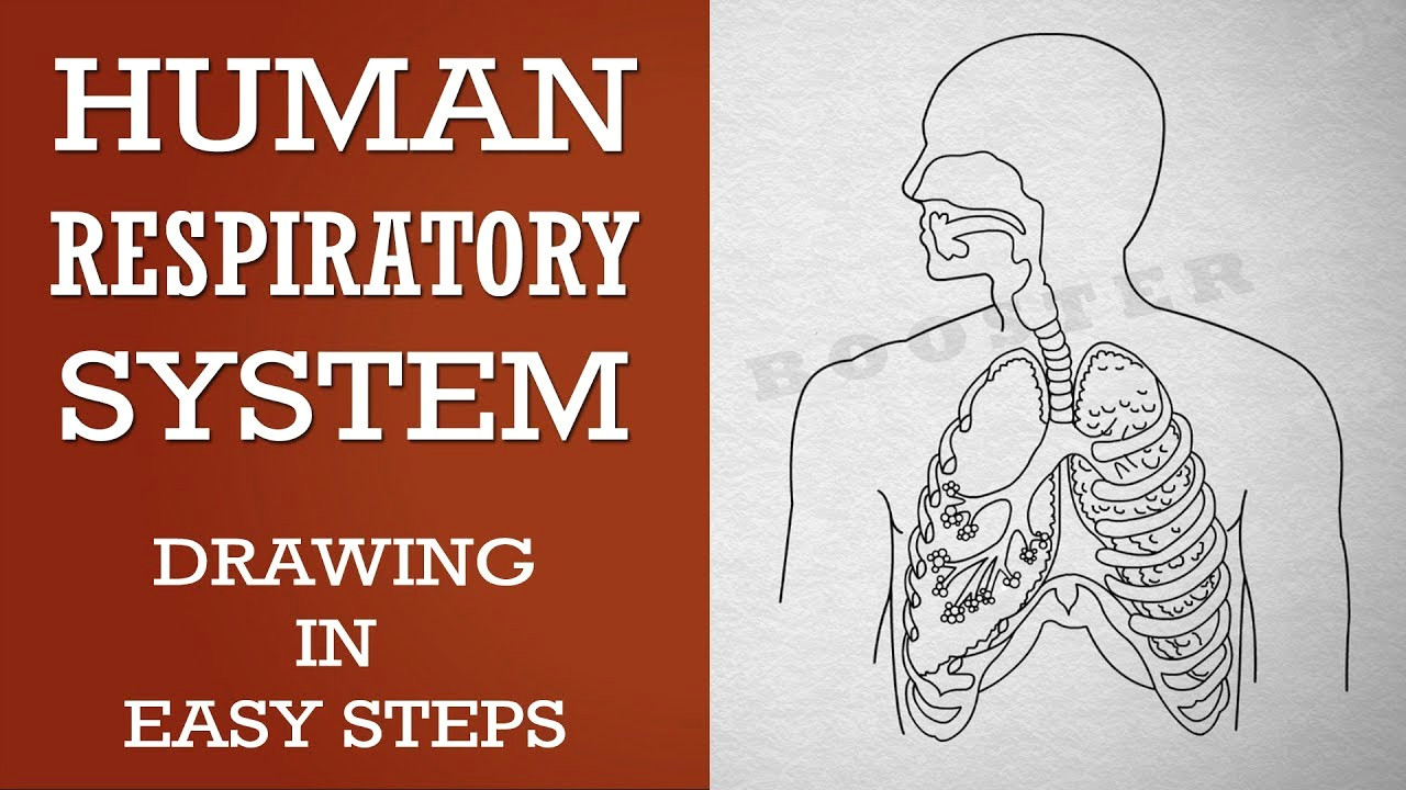 how to draw human respiratory system in easy steps 10th biology science cbse ncert class 10