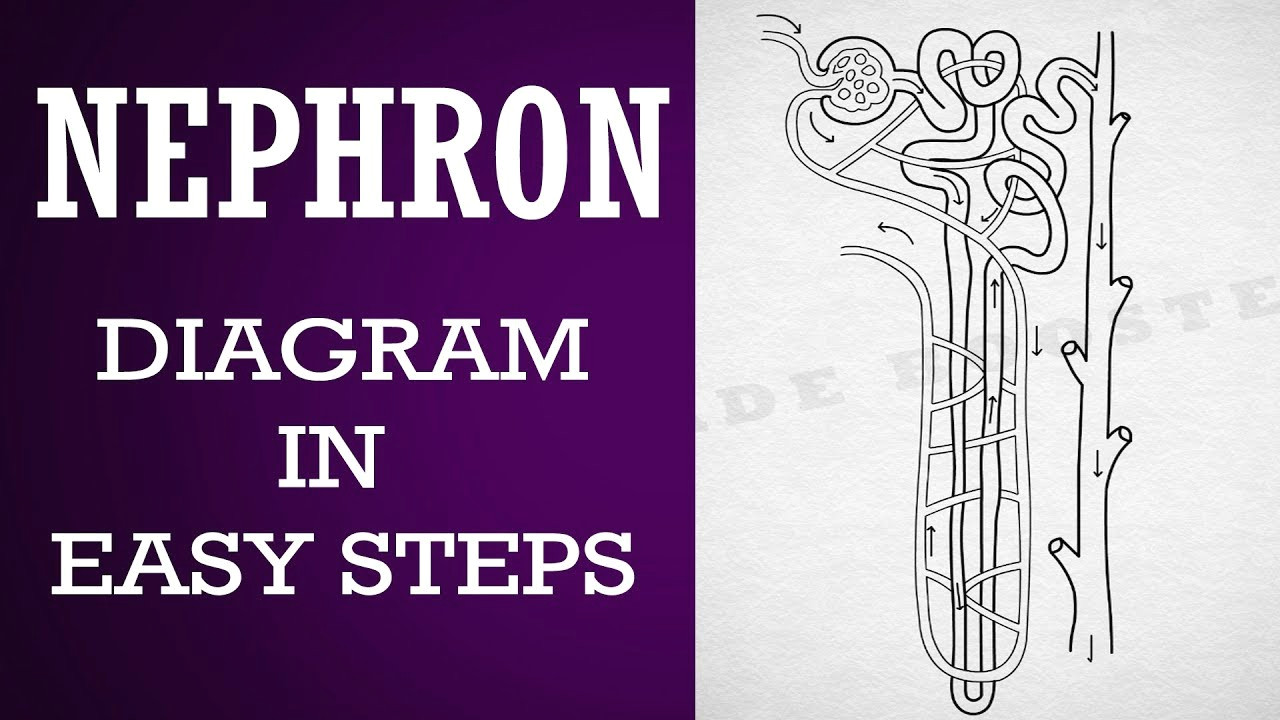 how to draw nephron in easy steps 10th biology science cbse syllabus ncert class 10