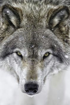 i dare you close up of a grey wolf by daniel parent on