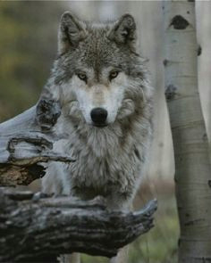 magnificent wolf wolf pictures wolf images wolf photos nature photos gray wolf