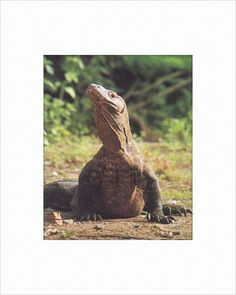komodo dragon 8x10 matted print akamu collection
