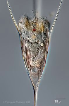 leben im teich einhorn radertier kellicottia longispina rotifers of the ruhr district germany kellicottia longispina