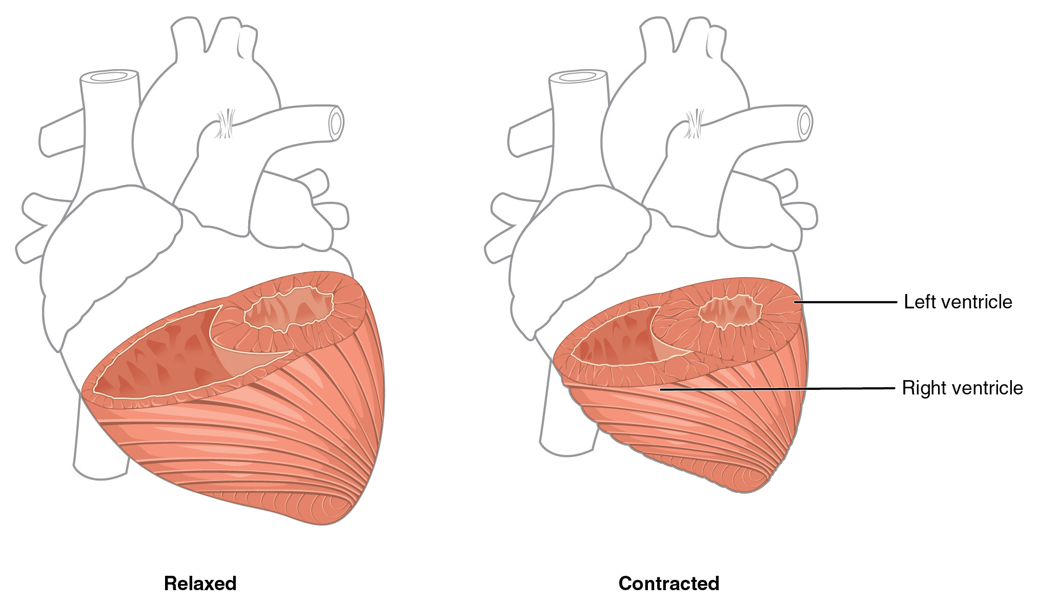 in this figure the left panel shows the muscles of the heart in the relaxed position