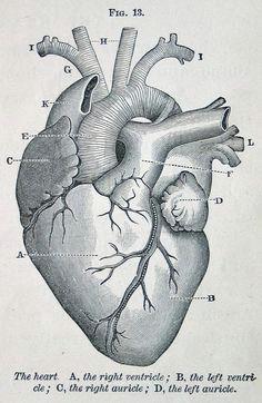 anatomic illustration heart art my heart anatomical heart drawing anatomical heart tattoos