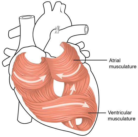 this diagram shows the muscles in the heart