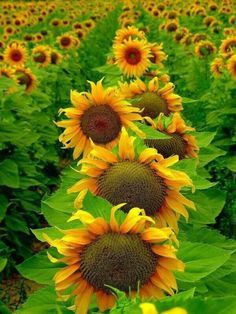 sunflowers sunflower garden sunflower fields sunflower art sunflower jewelry sunflower pictures