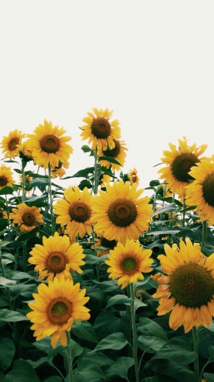 sunflowers for summer iphonebackgrounds floral wallpaper iphone iphone wallpaper vintage retro wallpaper backgrounds