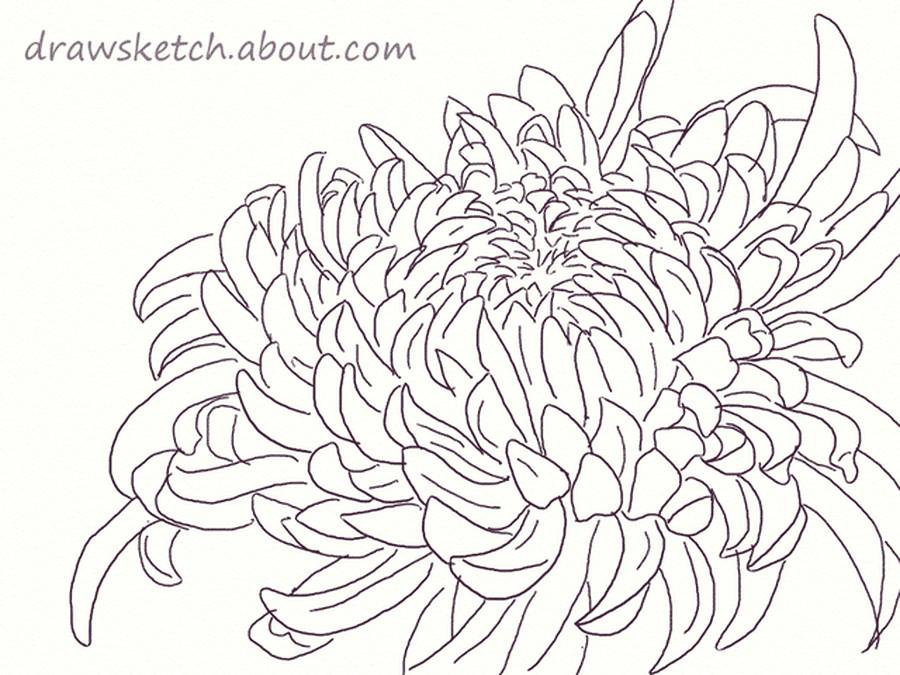 chrysanthemum drawing 56a26d0d5f9b58b7d0ca2430 png