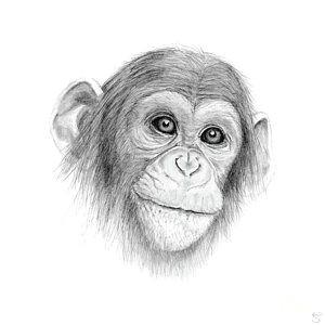 monkey jungle drawing a chimpanzee not monkeying around by stacey may