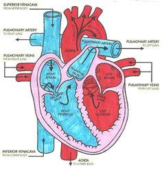 easy to follow arrows for blood flow cardiac medsurg nursing