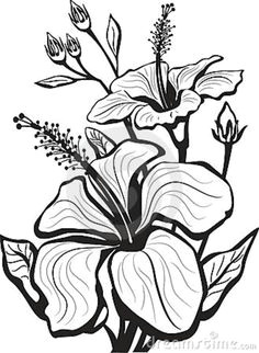 sketch of hibiscus flowers stock vector illustration of scent 19061339