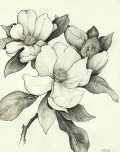 my sweet magnolia tree ann plummer a flower sketch