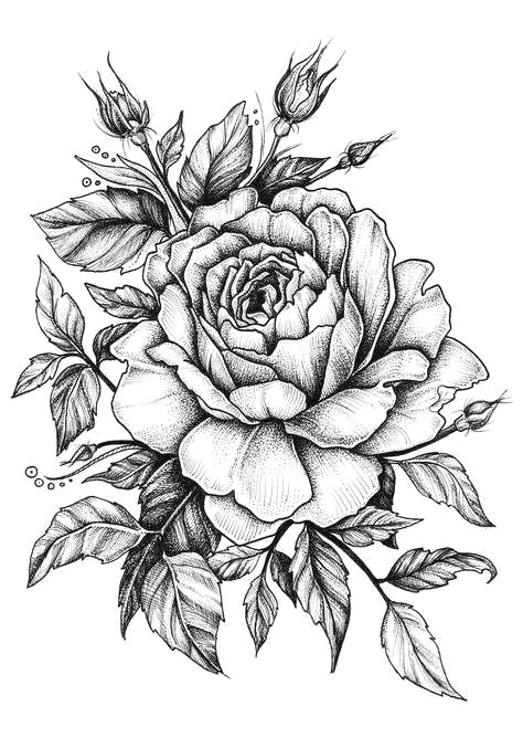 Pic Of A Drawing Of A Rose Rose with Banner New Easy to Draw Roses Best Easy to Draw Rose