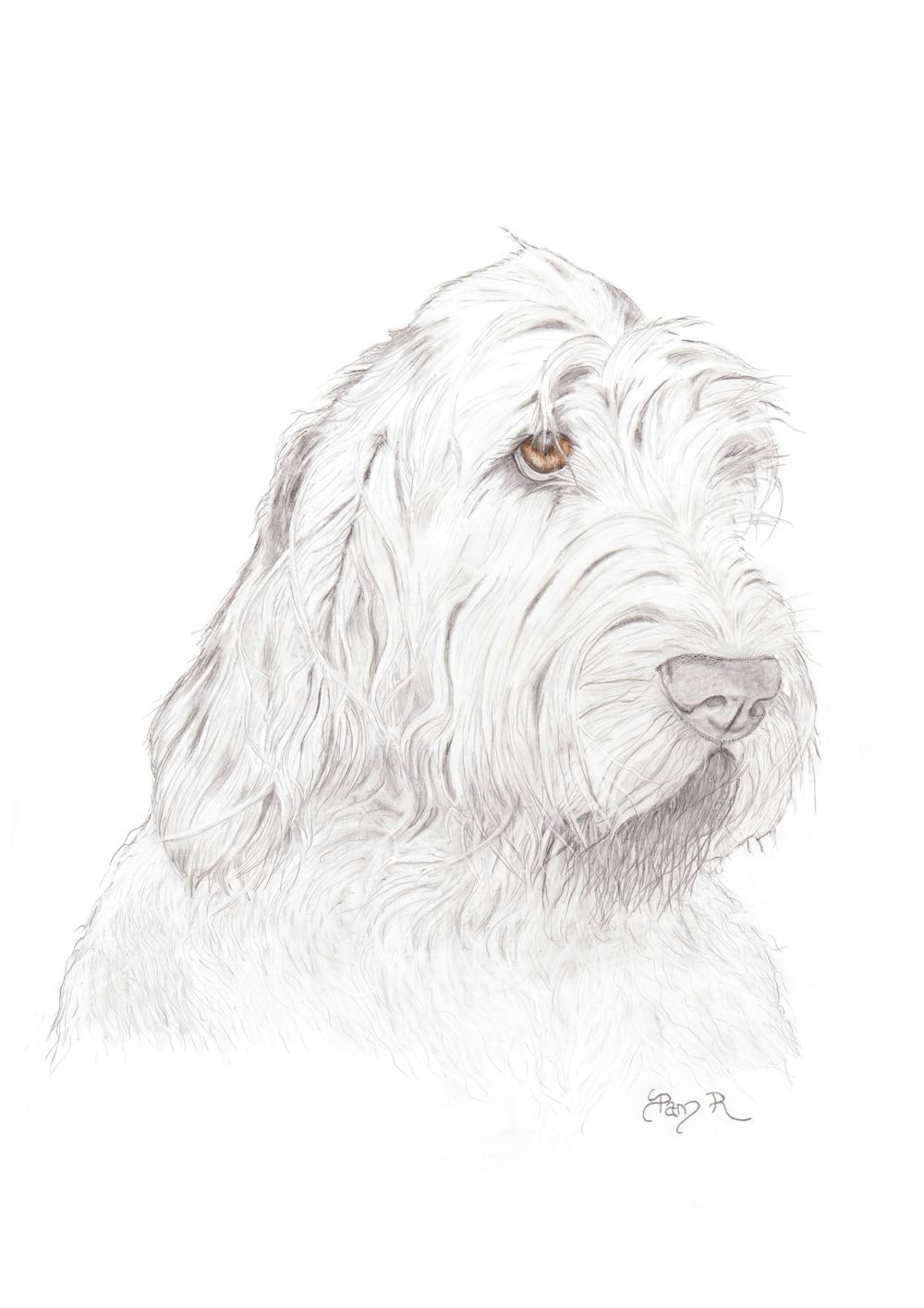 italian spinone watercolor pictures drawing tips croquis