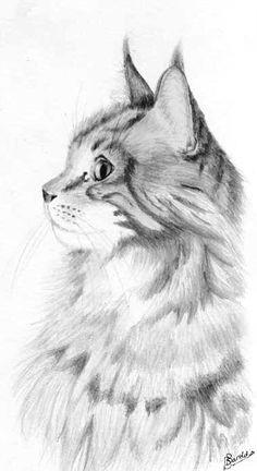 heilige birmaan amp maine coon cat different main coon cat breeds at