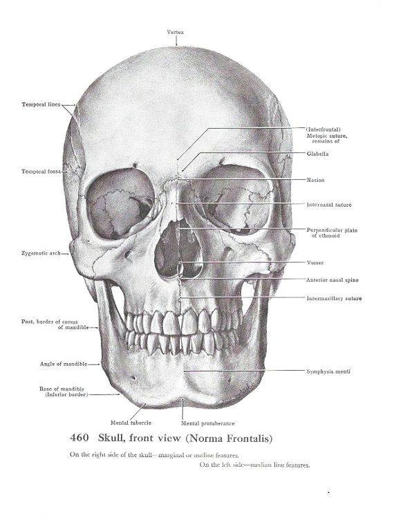 anatomical skull vintage print scientific medical by maddoxandrose