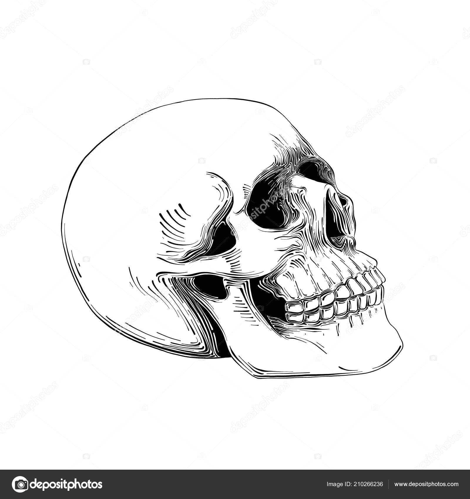 hand drawn sketch of skull in black isolated on white background stock vector