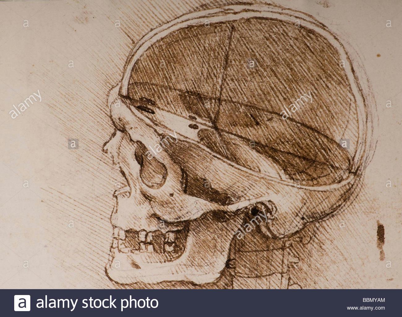 detail anatomical studies of the human skull by leonardo da vinci stock image