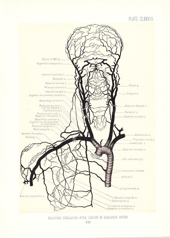 1899 human anatomy print circulation carotid arteries vintage antique medical anatomy art illust