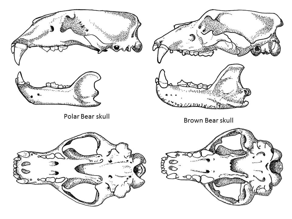 the skull biomechanics of the polar bear bear bear skull bear goat skull diagram bear skull diagram