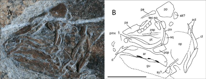 heptanema sp specimen mcsn 8532 a close up of the skull b download scientific diagram