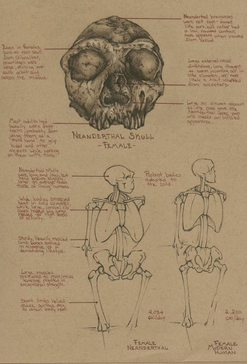sketchbook study comparative anatomy neanderthal female female modern human this was a lot of fun lately i ve been reall