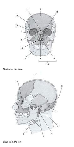i heart anatomy skull labeledradiology