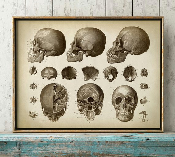 anatomy print skull print head print cranium anatomical drawing aged anatomy poster scientific