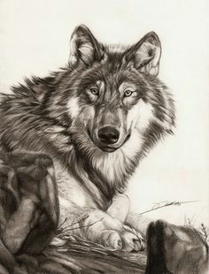 lying wolf by ambr0 on deviantart realistic pencil drawings pencil drawings of animals