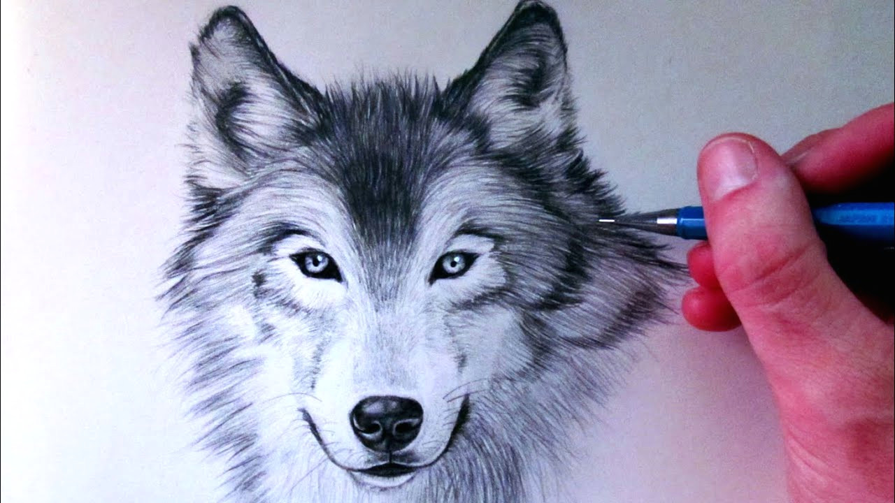 Speed Drawing Realistic Wolf How to Draw A Wolf Youtube