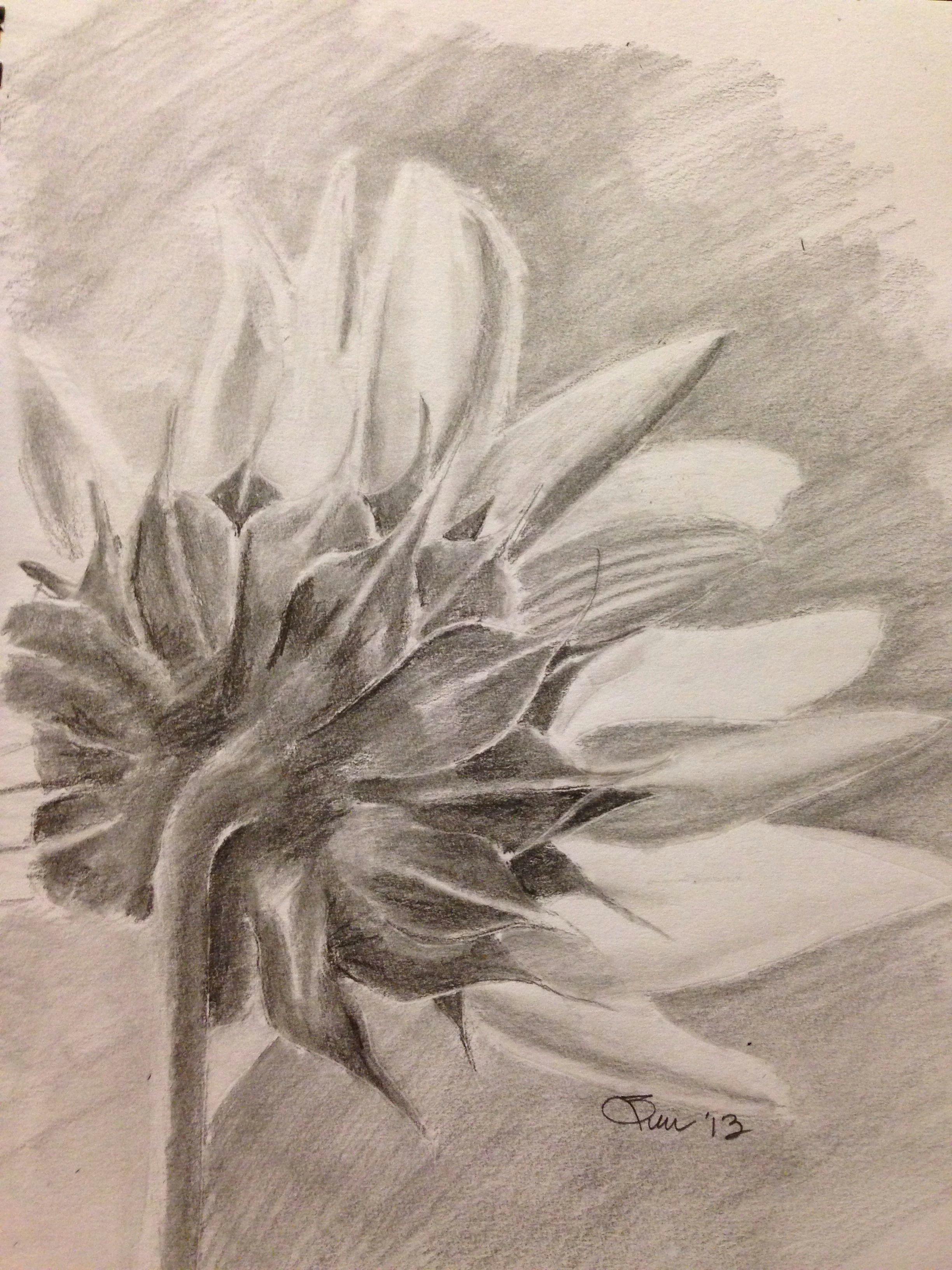 sunflower pencil drawing art
