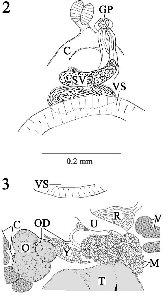 neolebouria truncata 2 composite drawing of cirrus sac and seminal download scientific diagram