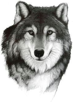 drawing a wolf by bill langis realistic drawings cool drawings pencil drawings of animals