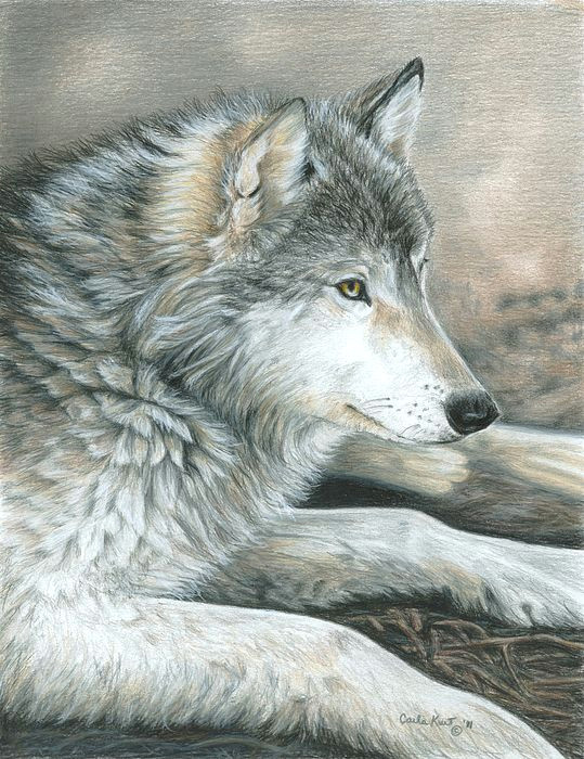 colored pencil drawing of a wolf this is magnificent
