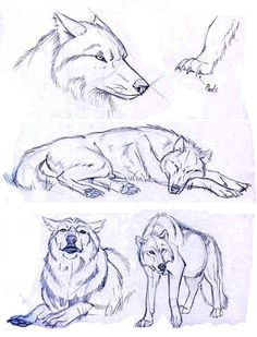 wolf sketches which i will be using for reference only drawing sketches wolf drawings