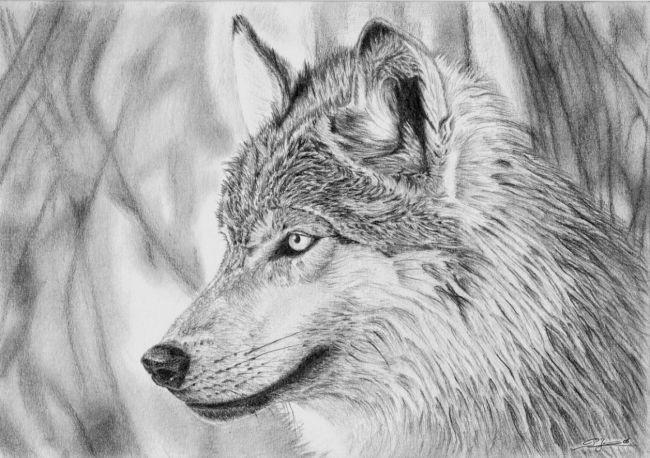 dessin loup 1 image sources large animals colored pencils wolves graphite