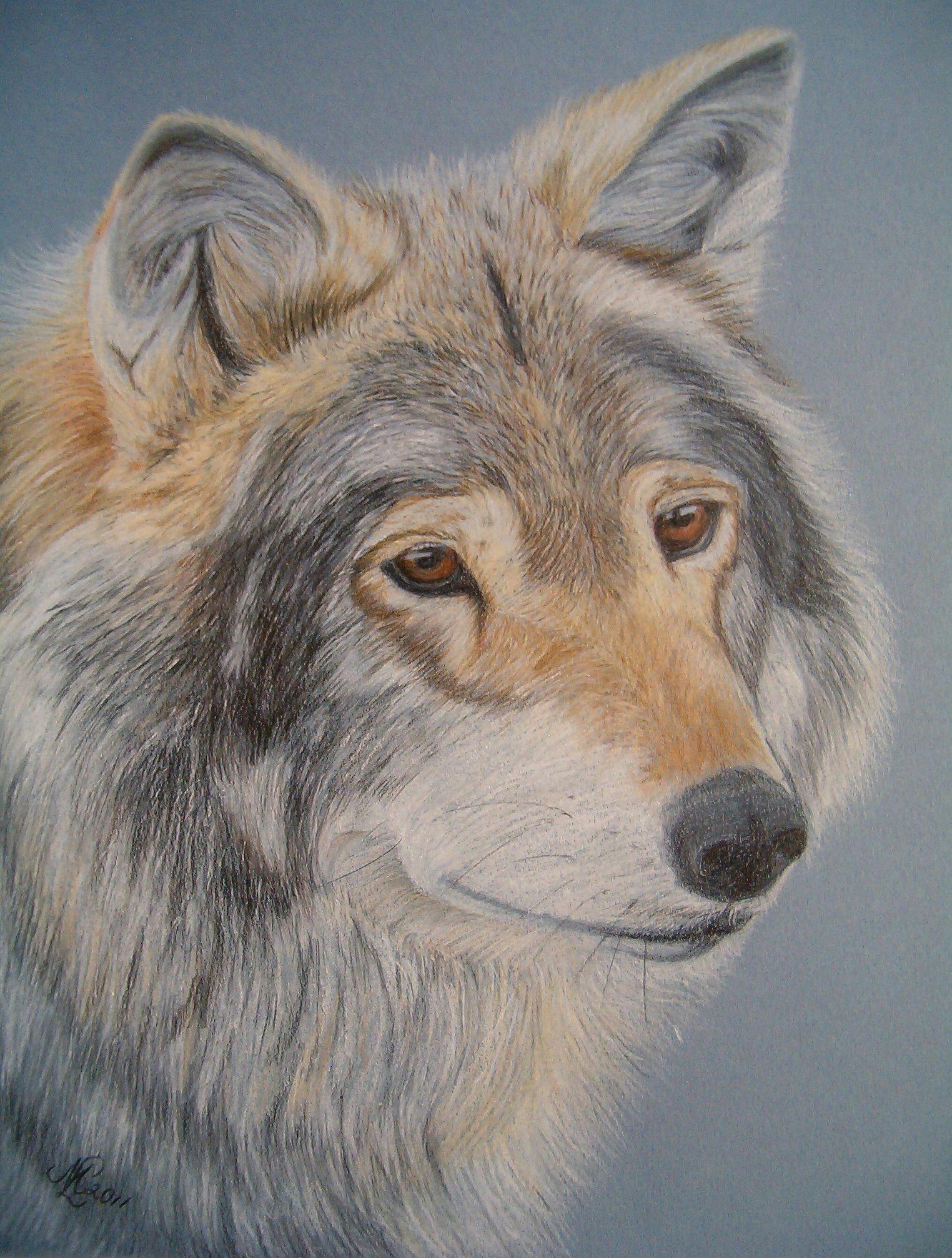 aragon a norwegian wolf colored pencil drawing by marita lipke for sale