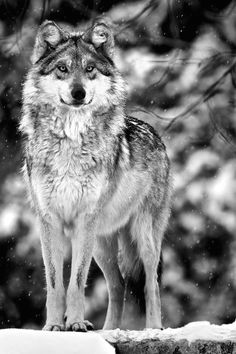 this wolf still hunts me today it took blood what will satisfy the wolf