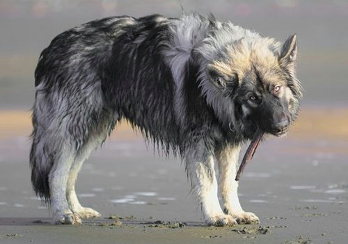 the dire wolf project is a breeding program by the american alsatian breeder s club that started in 1988 with the goal of bringing back the look of the
