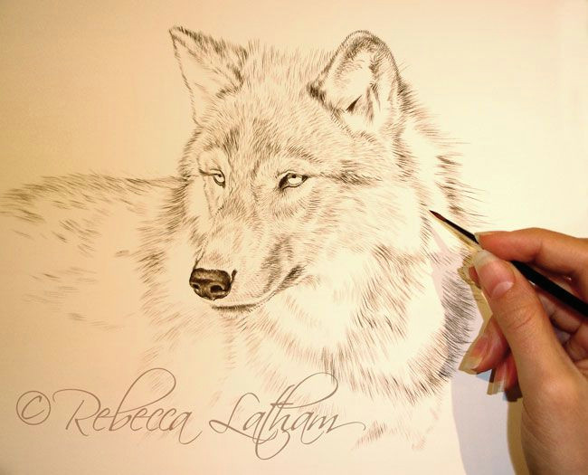 new wolf portrait in miniature paintings of wildlife nature by rebecca latham wolf sketch