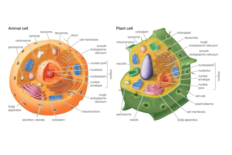 animal cell vs plant cell 58b45d8f5f9b5860460ceb88 jpg