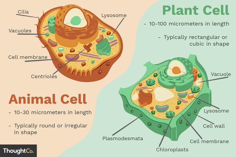 animal cells vs plant cells 373375 final 5b462d7fc9e77c00375014f1 png