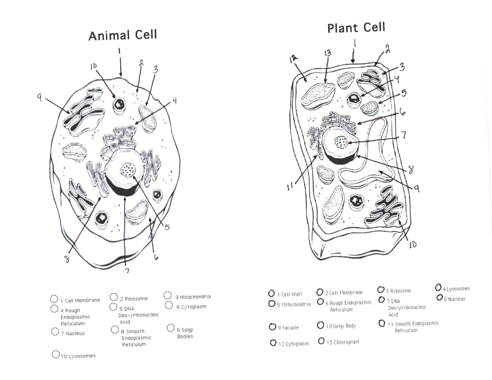Animal Cell and Plant Cell Drawing Plant and Animal Cell Diagram Unlabeled Printable Diagram